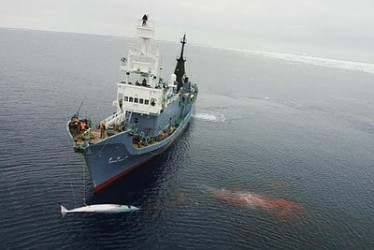Whalers fined $1 million in Australian court case - Sea Shepherd provides crucial evidence (Video)