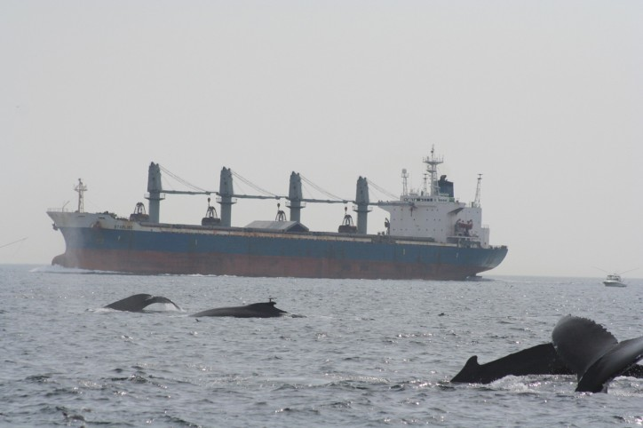 Shipping noise impairs ability of humpback whales to forage, study shows