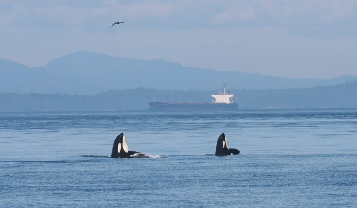 New incentive for cargo and cruise vessels intended to quiet waters around the Port of Vancouver for at-risk whales