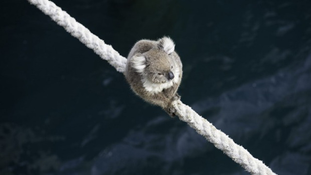Koala climbs aboard the MV Portland as ship remains in union standoff