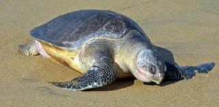 300 Endangered Sea Turtles Found Dead from Fishing Nets off Mexico